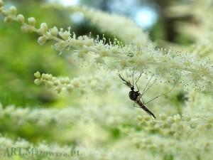 Komar na parzydle